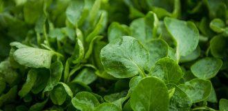 leafy-greens-organic