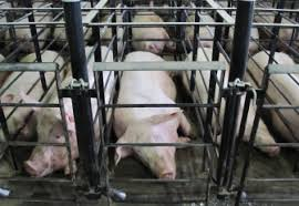 Farm Pigs1
